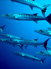 Barracudas are a possible carrier of Ciguatera toxin.